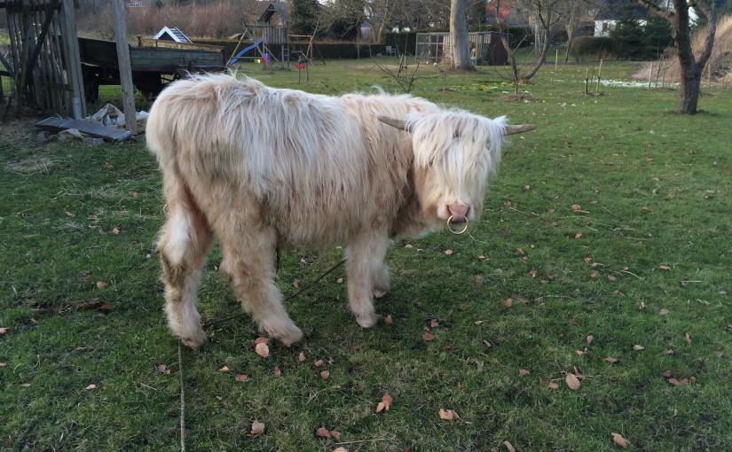 Kød af Highland Cattle fra Toftegaards gårdbutik